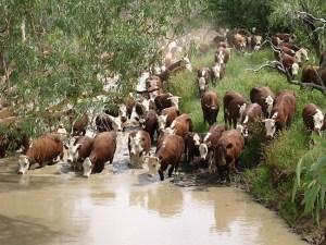 gallery-cattle-crosswater