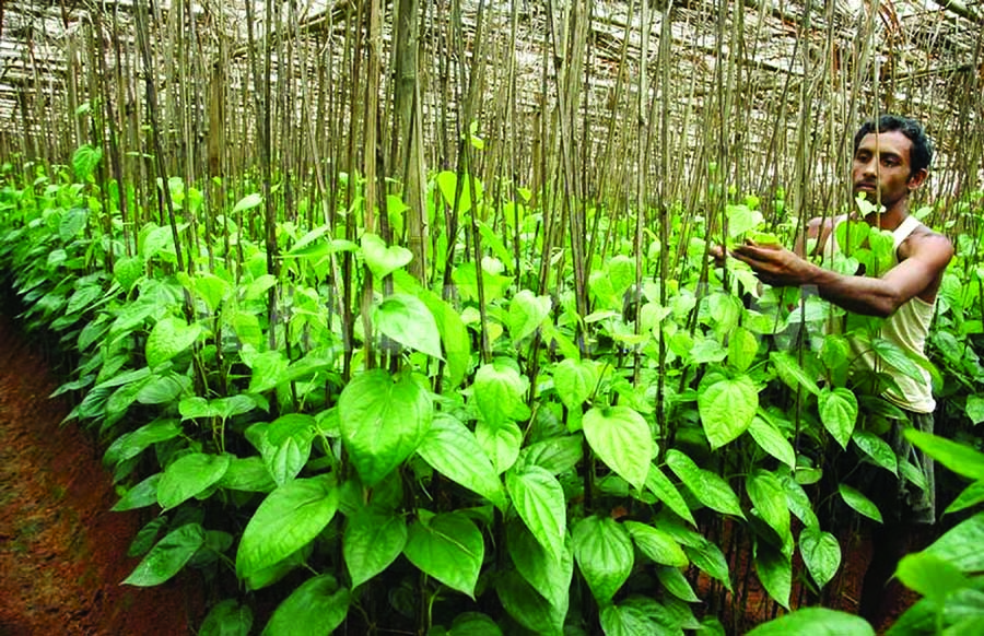 Telugu Agriculture News-Betel Nut Leaves Cultivation