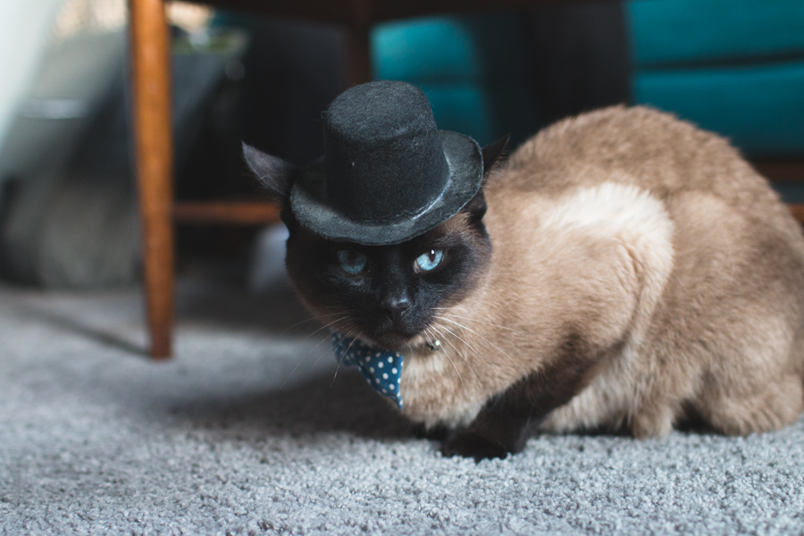 cat wearing a hat, siamese, cat, hat