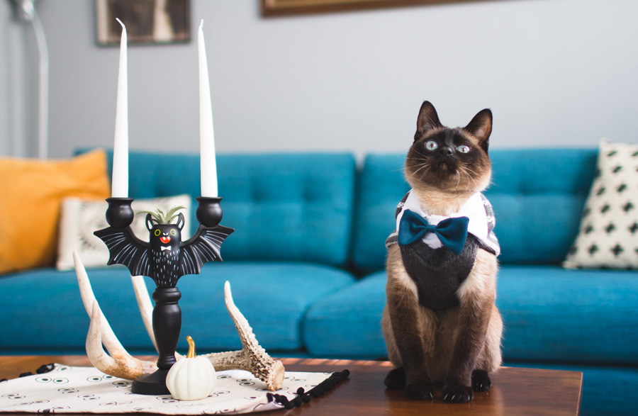 halloween cat, siamese, bowtie