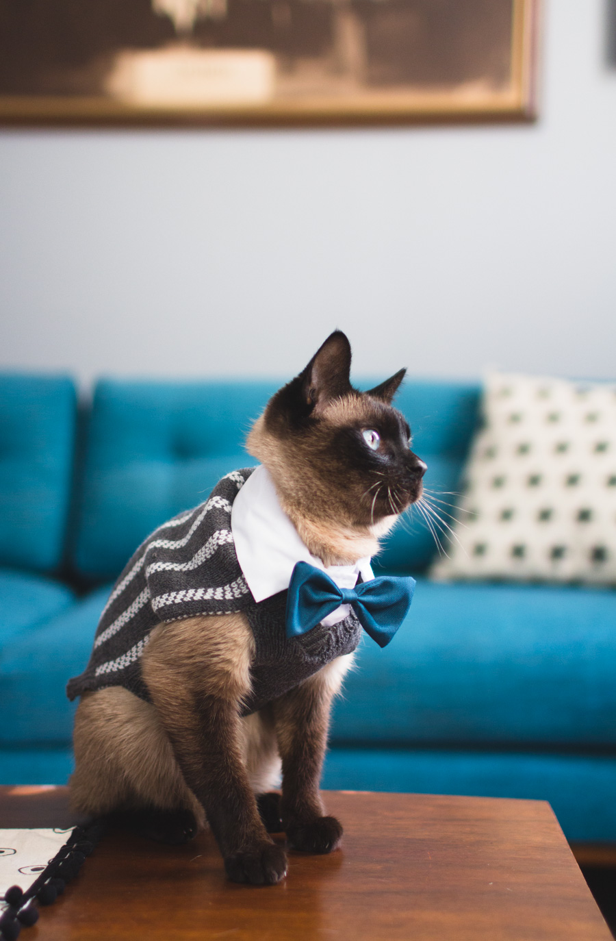 siamese cat, bowtie, dressed up cat, businessman cat