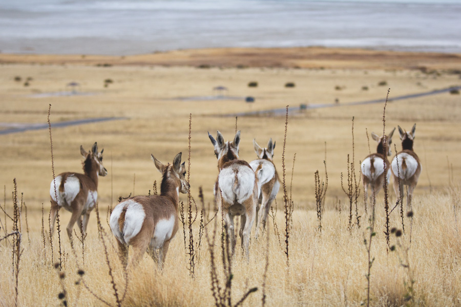 pronghorn, utah, great salt lake, antelope island