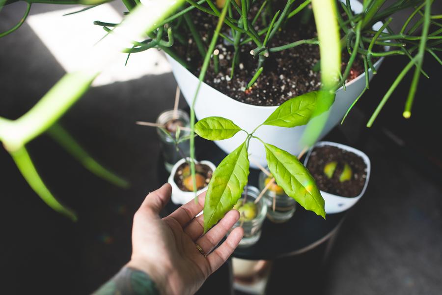 avocado plant leaf