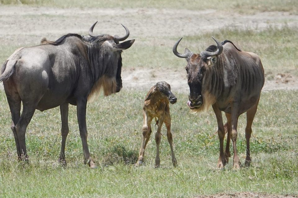 The baby wildebeest -- Our top 10 favorite safari honeymoon moments