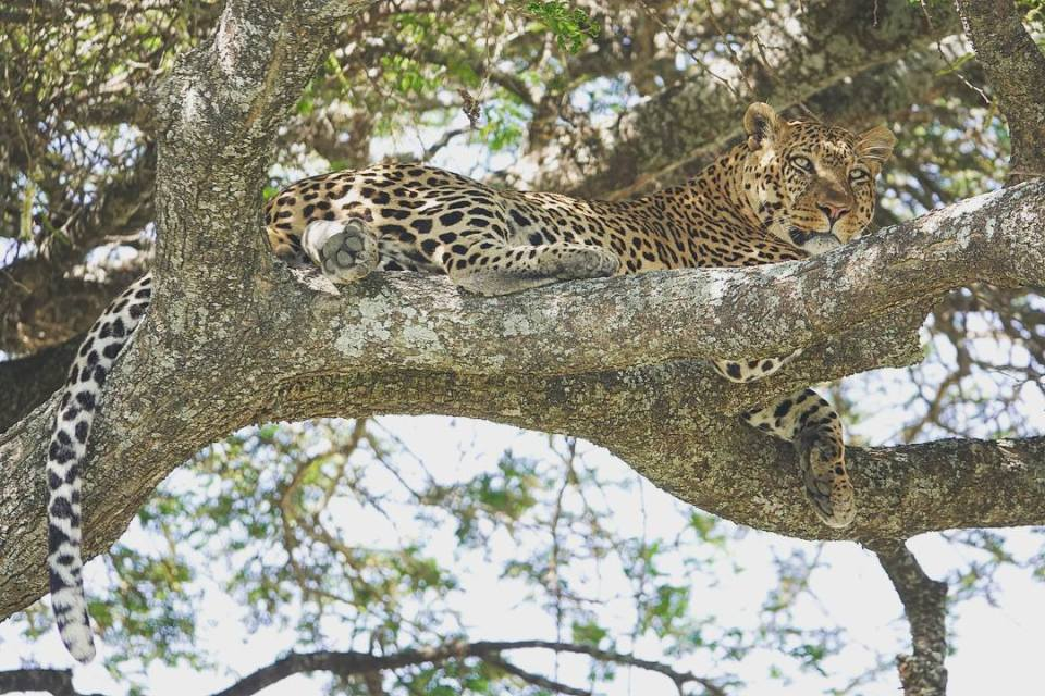 Our first leopard sighting -- Our top 10 favorite safari honeymoon moments