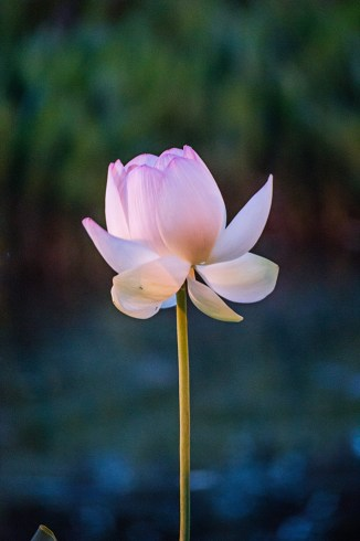 lotus in the gloaming-30 small