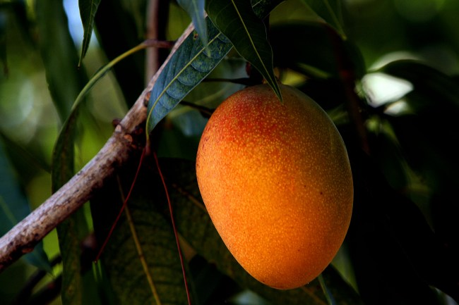 My father's summer love affair — with a mango