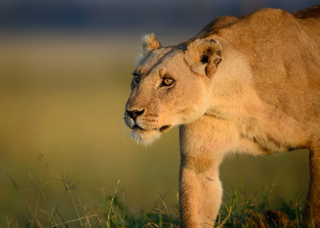 Elsa the Lioness: The Spirit of Born Free on World Lion Day