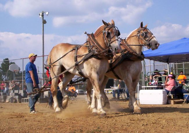 Celebrate National Mule Day in Easton