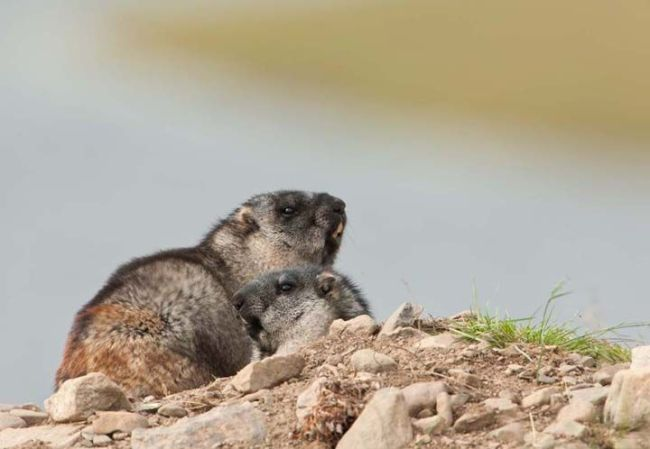 On Feb. 2, Alaskans celebrate Marmot Day
