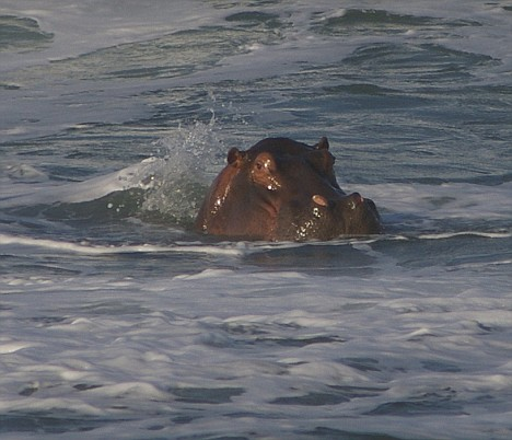 Pictured: The hippo who ditched his muddy waters to catch some sun and surf