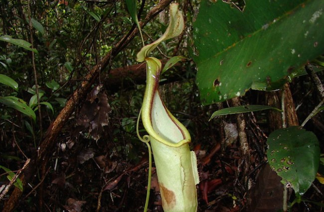 Carnivorous Plants Communicate with Bats