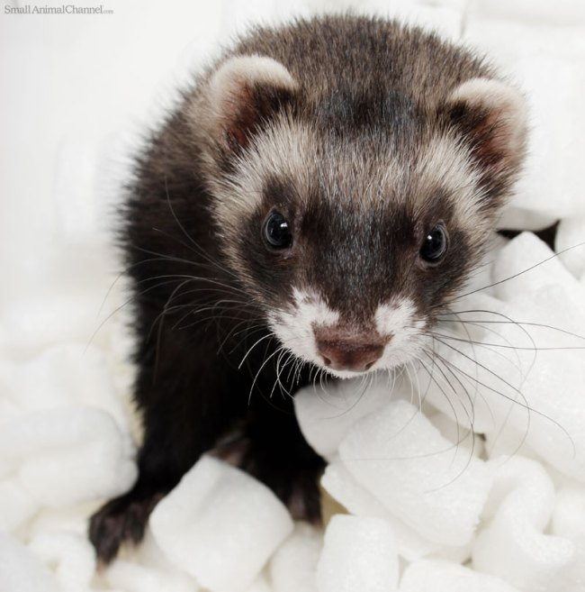 National Ferret Day Is Official!