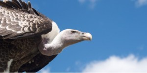 International Vulture Awareness Day