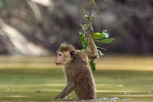 Dive-bombing toque macaques show us just how to behave on 'World Monkey Day'