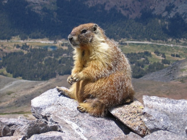 Forget Groundhog Day! Feb. 2 = Marmot Day, thanks to Sarah Palin