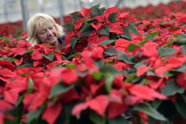 National Poinsettia Day 2013: Are Poinsettias Really Poisonous To Cats, Humans ...