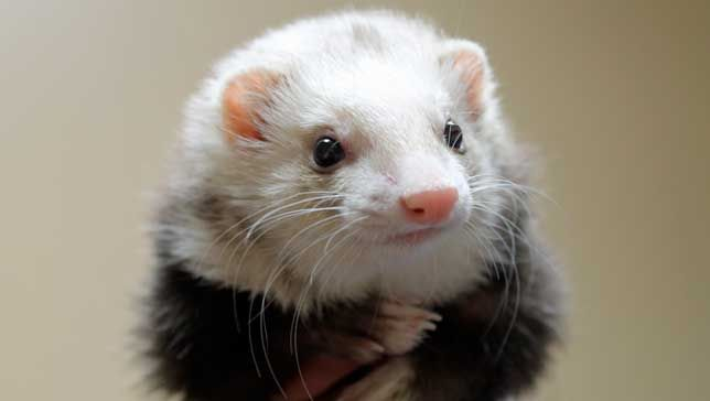 8 things you didn't know about ferrets