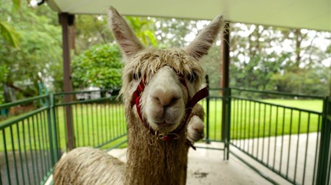 Well of course, it's Alpaca Week