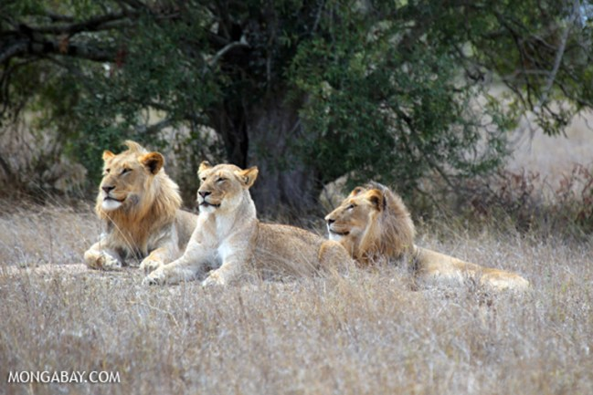 World Lion Day (Photos)