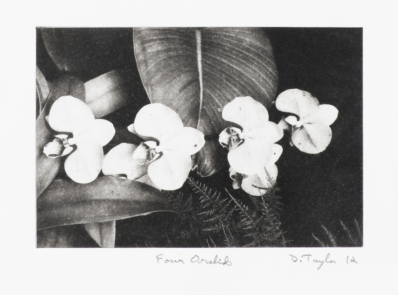 Four Orchids by Doug Taylor 2012	polymer gravure	7.5x11
