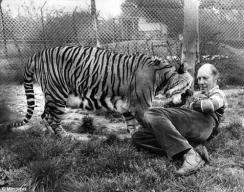 Zorra Tiger