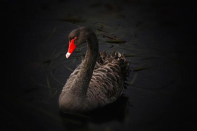 Nassim Taleb's black swan