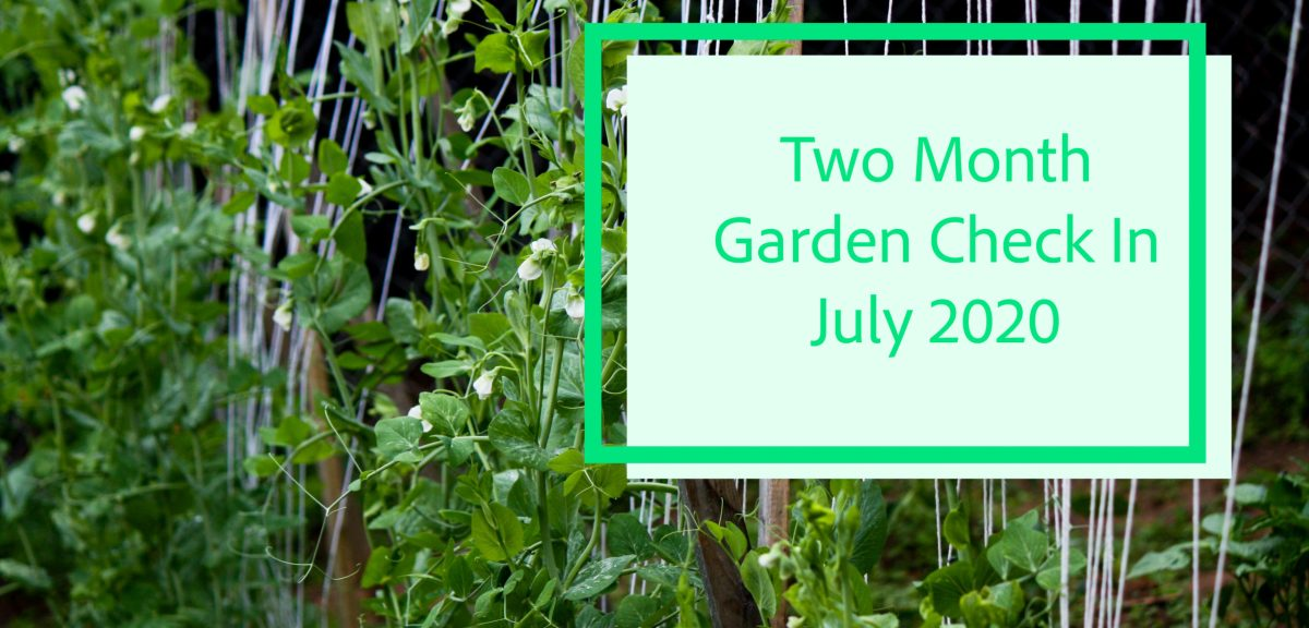 Two Month Garden Check In- July 2020