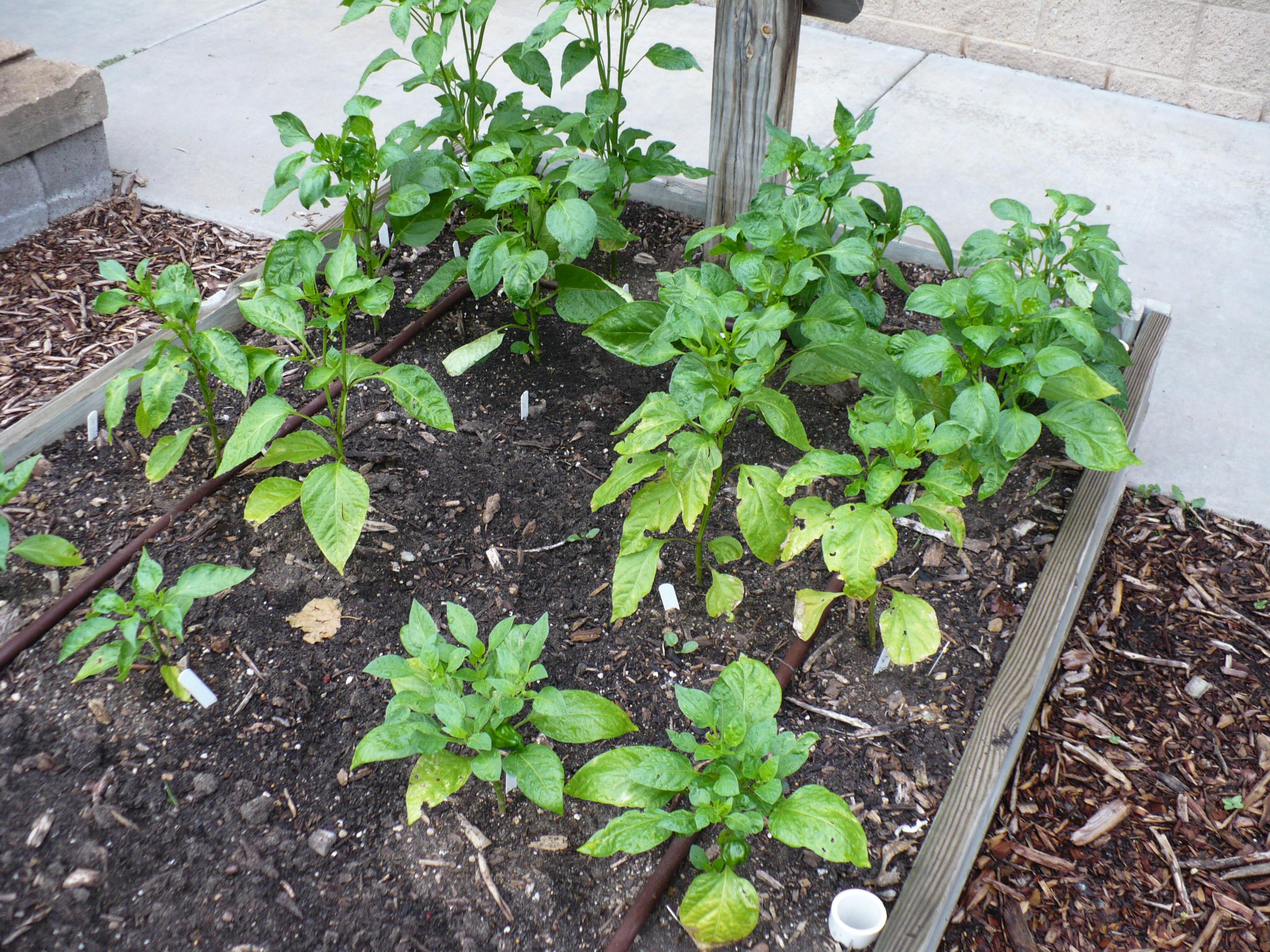 Pepper deficiency