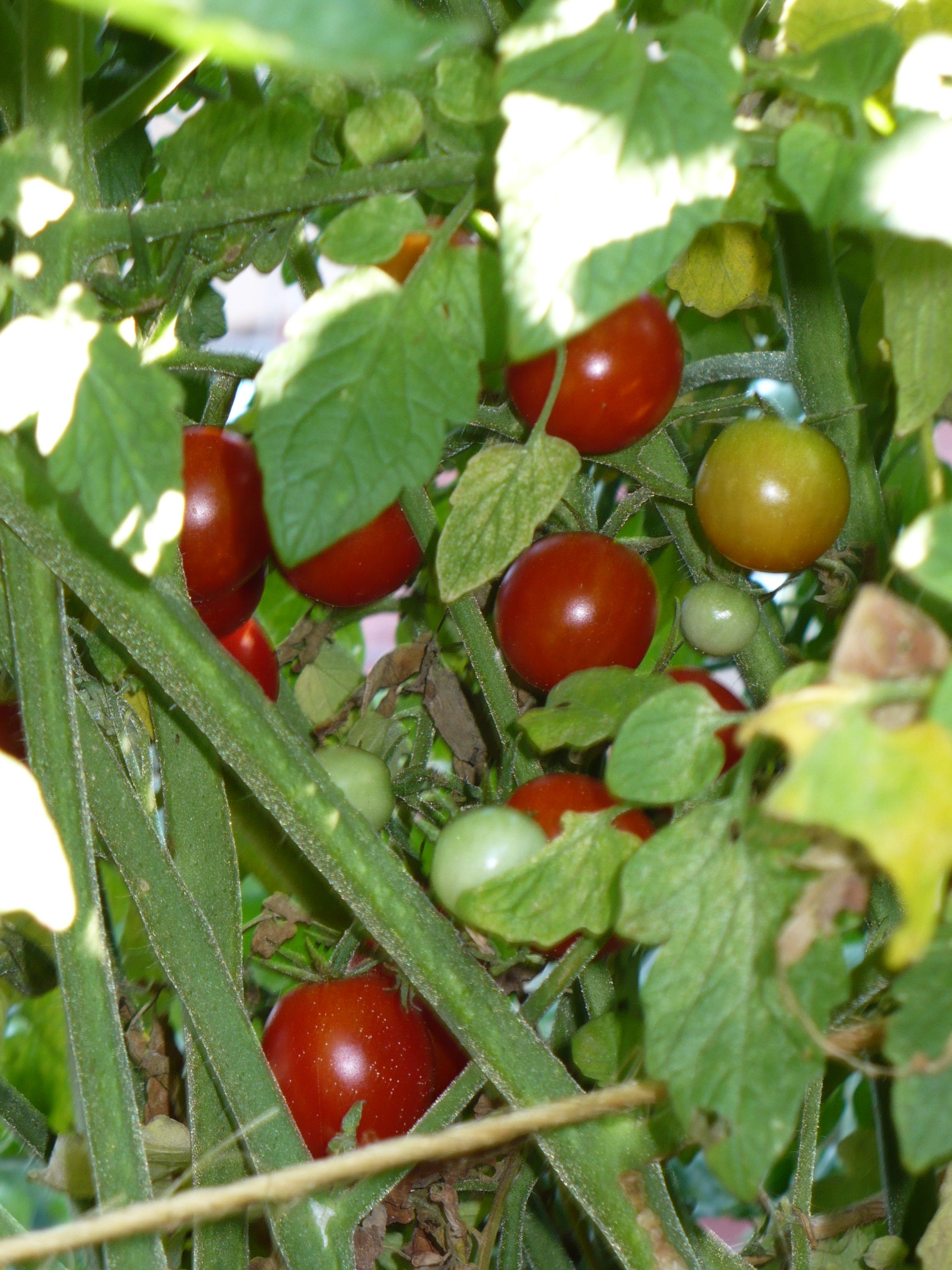 Cluster of Cherries