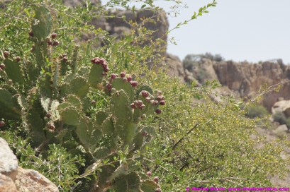 ripe prickly pears