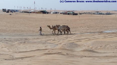 Camels on their way from a competiton
