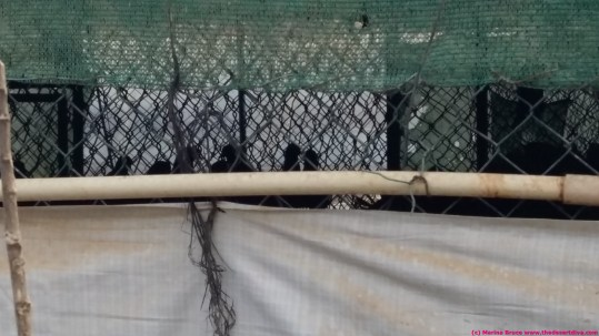 massive cage of pigeons - live bait for falcons