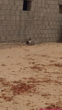 yes, there are domestic bunnies hopping around - rahhal would love to play with them