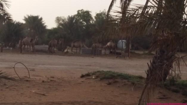 camels having breakfast