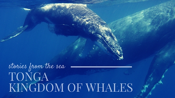 Amazing underwater adventure with humpback whales in Tonga