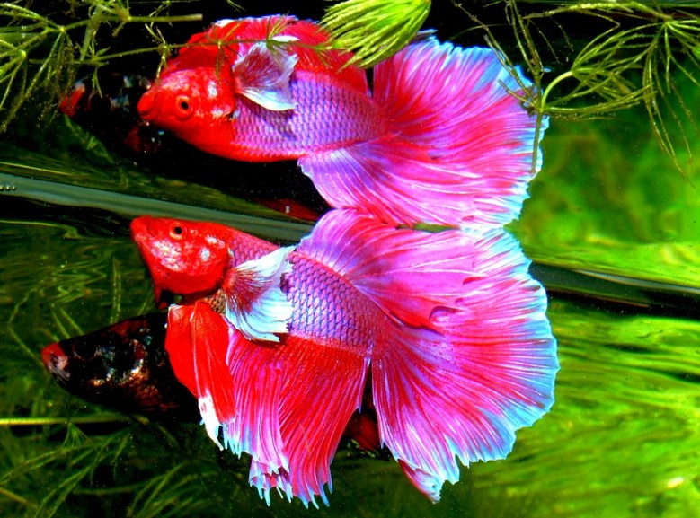 How to Raise a Healthy Betta Fish | About Betta Fish