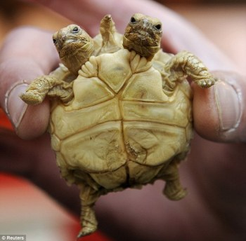 two-headed turtle 2