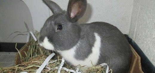 Merlin male rabbit