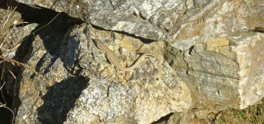 Aegean wall lizard. Courtesy of Kate Marshall