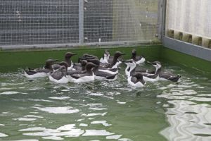 Recent rehab: oiled bird rehab – guillemots on pools at RSPCA West Hatch in Taunton, Somerset