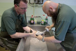 Recent rehab: Adam Grogan washing guillemot alongside wildlife supervisor Paul Oaten at RSPCA West Hatch