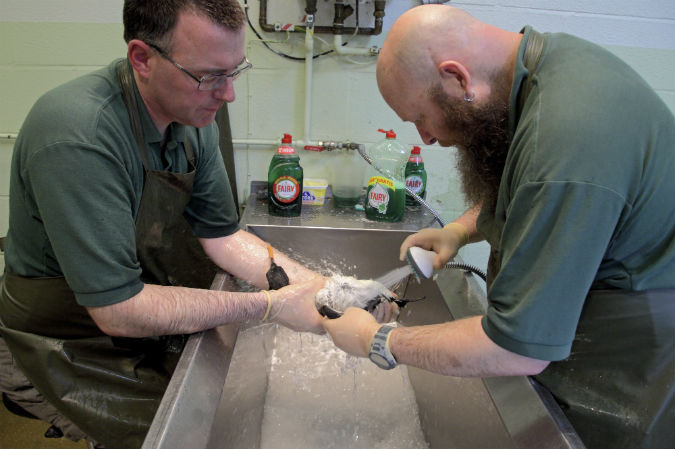 Recent rehab: Adam Grogan washing guillemot alongside wildlife supervisor Paul Oaten at RSPCA West Hatch