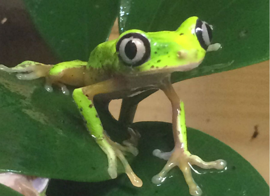 Critically Endangered Lemur leaf frog