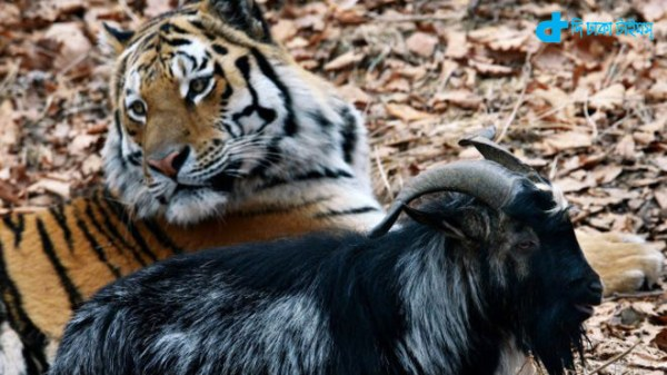 When goat and tiger friend