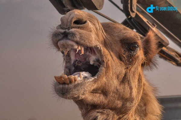 Camel attack owner killed