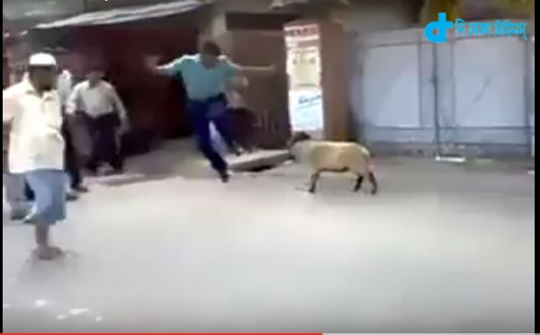 sheep to see action