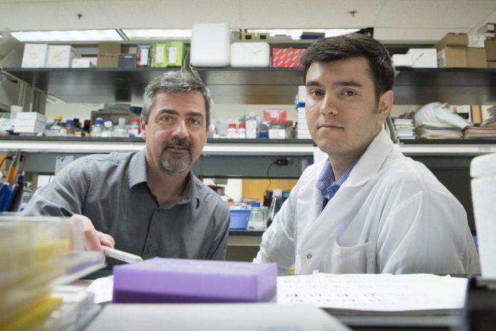 Norbert Leitinger, Ph.D. (left), and Vlad Serbulea, Ph.D.