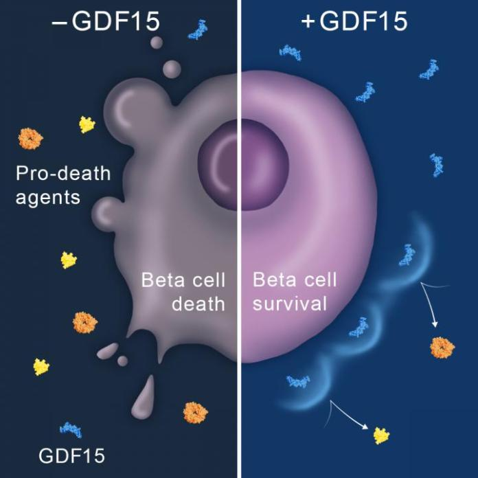 GDF15 - growth differentiation factor 15