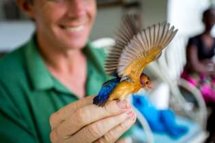 A Pygmy Kingfisher stretches it's wings.